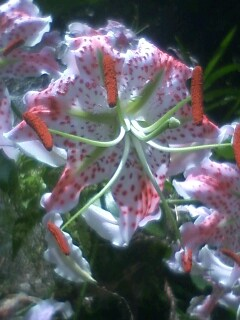 花あるき・2011 [178] カノコユリ