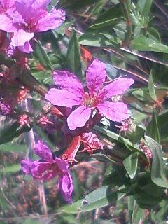 花あるき・2011 [179] ミソハギ