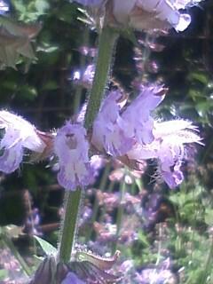花あるき・2011 [180] アキノタムラソウ