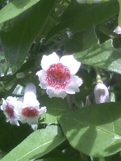 花あるき・2011 [182] ヘクソカズラ