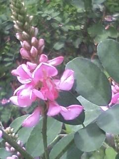 花あるき・2011 [183] コマツナギ
