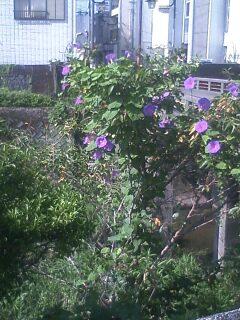 花あるき・2011 [186] マルバアサガオ