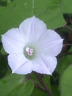 花あるき・2011 [187] マメアサガオ