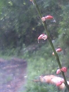 花あるき・2011 [191] ミズヒキ