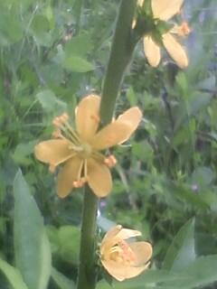 花あるき・2011 [192] キンミズヒキ