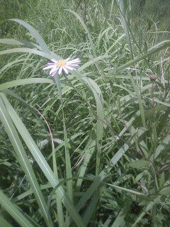 花あるき・2011 [193] ヨメナ