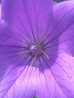 花あるき・2011 [195] キキョウ