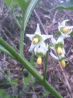 花あるき・2011 [197] イヌホオズキ