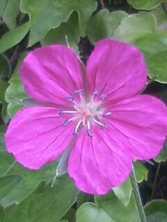 花あるき・2011 [201] ゲンノショウコ
