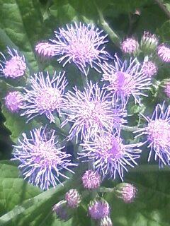 花あるき・2011 [208] カッコウアザミ
