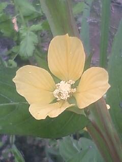 花あるき・2011 [210] ヒレタゴボウ