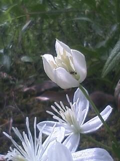 花あるき・2011 [212] センニンソウ