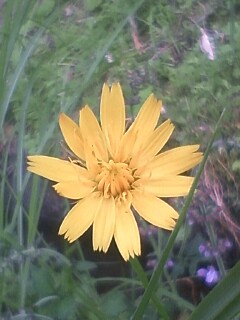 花あるき・2011 [213] ブタナ