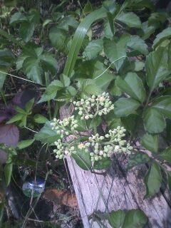 花あるき・2011 [215] ヤブガラシ