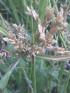 花あるき・2011 [218] カヤツリグサ