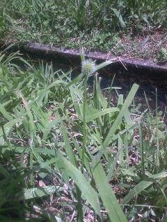 花あるき・2011 [219] ヒメクグ