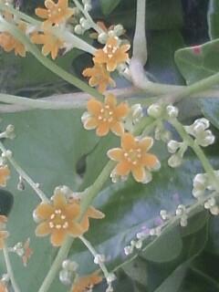 花あるき・2011 [221] カエデドコロ