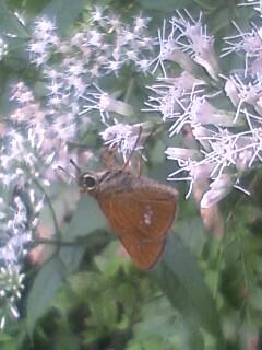 花あるき・2011 [227] ヒヨドリバナ
