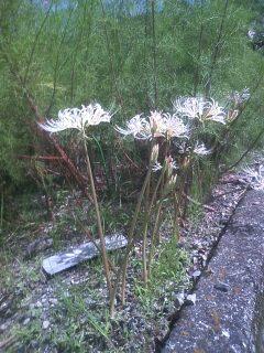 花あるき・2011 [233] シロバナヒガンバナ