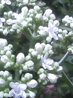 花あるき・2011 [236] オトコエシ