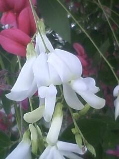 花あるき・2011 [243] シラハギ