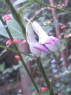 花あるき・2011 [248] ヤブマメ
