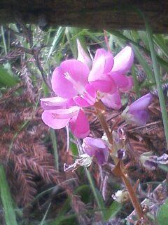 花あるき・2011 [251] マルバハギ