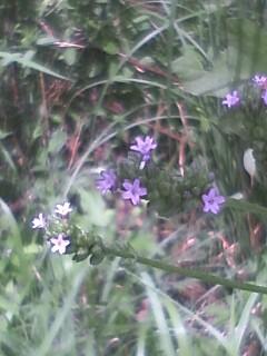 花あるき・2011 [253] アレチハナガサ