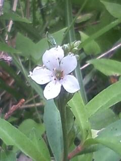 花あるき・2011 [256] ヌマトラノオ