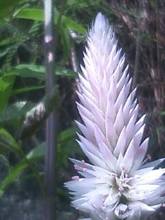 花あるき・2011 [258] ノゲイトウ