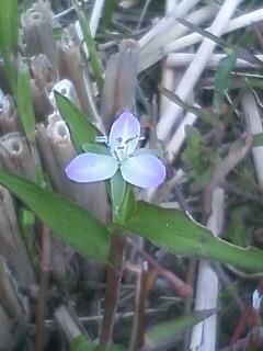花あるき・2011 [260] イボクサ