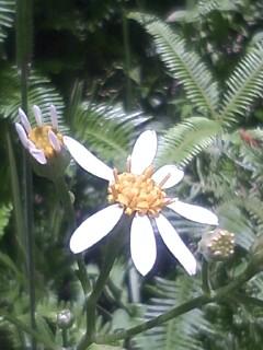 花あるき・2011 [263] シラヤマギク