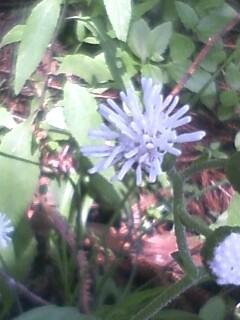 花あるき・2011 [269] ヌマダイコン