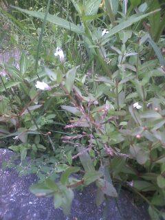 花あるき・2011 [271] アメリカアゼナ