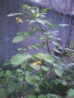 花あるき・2011 [274] カラスノゴマ