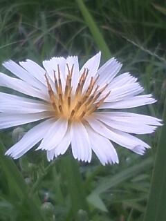 花あるき・2011 [275] アキノノゲシ