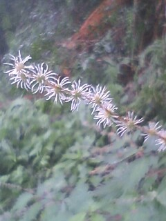 花あるき・2011 [278] コアカソ