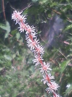 花あるき・2011 [279] マルバアカソ