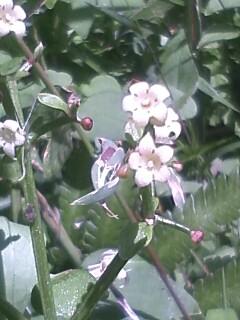 花あるき・2011 [283] アカネ