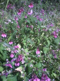 花あるき・2011 [285] ツリフネソウ