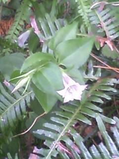 花あるき・2011 [290] ツルリンドウ