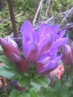 花あるき・2011 [291] リンドウ