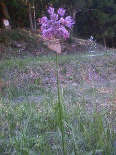 花あるき・2011 [292] ヤマラッキョウ