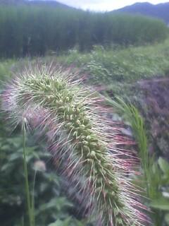 花あるき・2011 [295] エノコログサ
