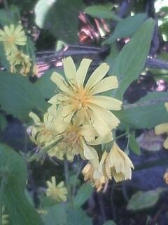 花あるき・2011 [296] ヤクシソウ