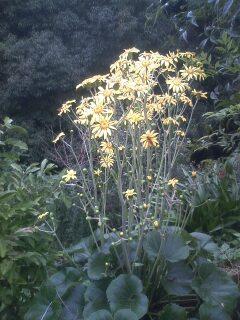 花あるき・2011 [297] ツワブキ