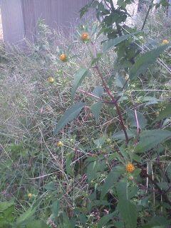 花あるき・2011 [299] アメリカセンダングサ