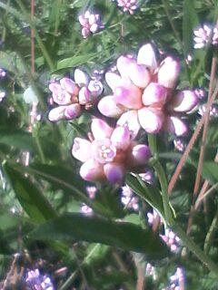 花あるき・2011 [298] アキノウナギツカミ