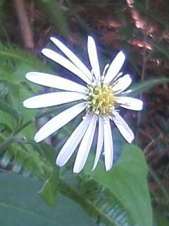 花あるき・2011 [302] シロヨメナ