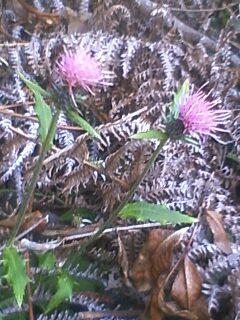 花あるき・2011 [303] タイアザミ